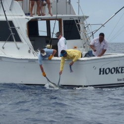 Hooked up releasing a 600 pound marlin