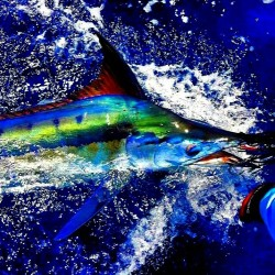 cool colors of a marlin