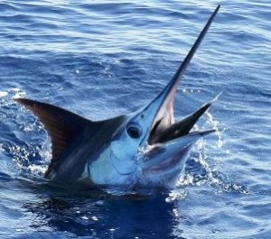 marlin oct21 - Copy1